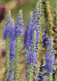 Spiked Speedwell Royalty Free Stock Image