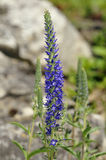 Spiked Speedwell Stock Images