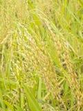 Spikelet του ρυζιού Στοκ Φωτογραφία