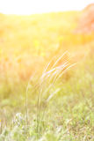 Spikelet χλόη στον ήλιο ρύθμισης Στοκ Εικόνες