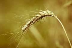Spikelet. Detail of spikelet with dry corns Royalty Free Stock Photography
