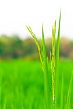 Spikelet av rice Royaltyfria Foton