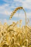 Spikelet av vete i ett fält royaltyfri bild