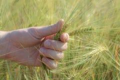 Spikelet av vete i hand, i fingrar arkivbild