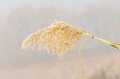Spikelet on the background of the first morning frost Stock Photo