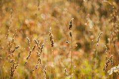 Spikelet da grama no campo no por do sol Fotos de Stock Royalty Free