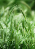 Spikelet Royalty Free Stock Photography