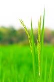 Spikelet do arroz Fotos de Stock Royalty Free