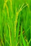 Spikelet do arroz Fotos de Stock