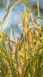 Spikelet do arroz no campo Fotografia de Stock Royalty Free