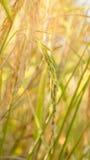 Spikelet do arroz no campo Fotos de Stock Royalty Free
