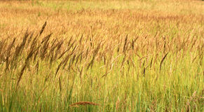Spikelet field Royalty Free Stock Images