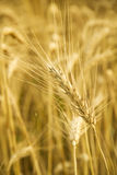 Spikelet Royalty Free Stock Photos