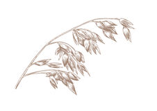 Spikelet of oat. Drawing of spikelet of oat on the white Stock Photography