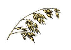 Spikelet of oat. Drawing of spikelet of oat on the white Royalty Free Stock Images