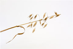 Spikelet of oats Stock Photography