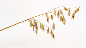 Spikelet of oats Royalty Free Stock Images
