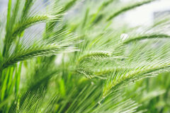 Spikelet. A photo of green spikelet Stock Images
