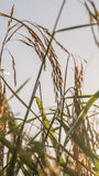 Spikelet of rice in the field Stock Photo