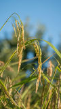 Spikelet of rice in the field Royalty Free Stock Image