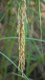 Spikelet of rice in the field Stock Photography