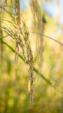 Spikelet of rice in the field Stock Image