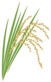 Spikelet of rice on a white background. Spikelet of rice with the leaves on a white background. Vector illustration Royalty Free Stock Photography