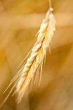 Spikelet of ripe wheat Stock Image