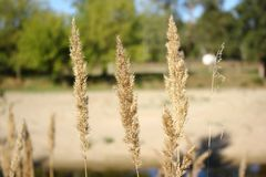 Spikelet on the river bank Stock Photos