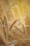 Spikelet of rye closeup Royalty Free Stock Photo
