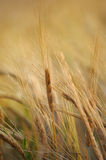 Spikelet of rye closeup Royalty Free Stock Image