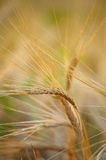 Spikelet of rye closeup Stock Photo