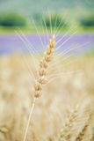 Spikelet of Rye Stock Image