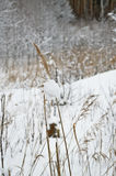 Spikelet in the snow. Stock Image