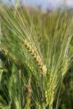 Spikelet of wheat close up in a green field royalty free stock photography
