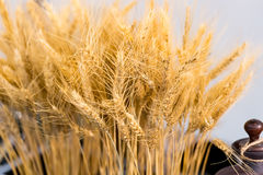 Spikelet of wheat Royalty Free Stock Image