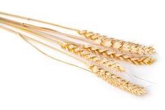 Spikelet of wheat isolated on the white. Closeup photo stock photography