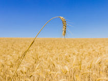Spikelet of wheat Stock Photo