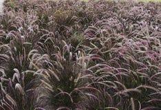 Spikeletfält av pennisetumen i olika skuggor av gräsplan royaltyfri fotografi
