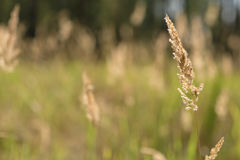 Spikelets against the background of a green field. Focus on the spikelet Stock Photography