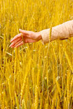 Spikelets And The Woman Palm Stock Photo