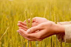 Spikelets And The Woman Palms Stock Image