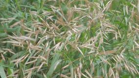 Spikelets av gräs lager videofilmer