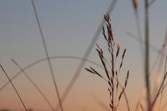 Spikelets av gräs 3 arkivbild