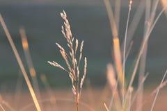 Spikelets av gräs 2 arkivbild