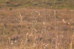 Spikelets av gräs 1 arkivfoto
