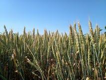 Spikelets av grönt vete i ett fält mot blå himmel arkivfoto