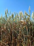 Spikelets av grönt vete i ett fält mot blå himmel royaltyfri fotografi