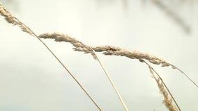 Spikelets av torrt gräs på bakgrunden av vatten arkivfilmer
