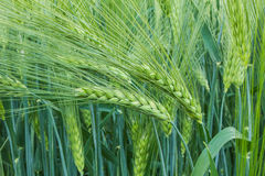 Spikelets barley. In the field of mature ears of barley Stock Images